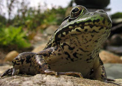 Frog Chin